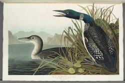 Estampe aquarellée, John James Audubon gravée par Robert Havel II. Mention : Musées de la civilisation, collection du Séminaire de Québec, photographe : Jessy Bernier – Icône, 1993.34909